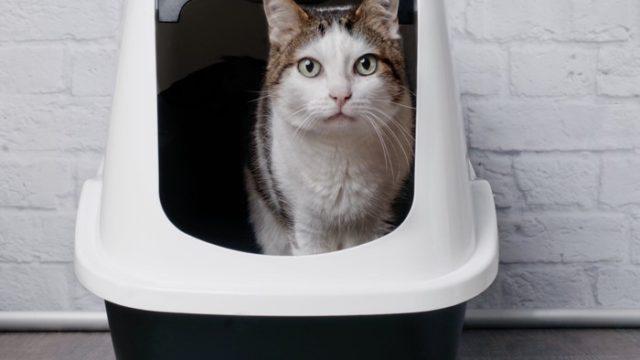 猫トイレで排泄中の猫